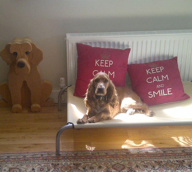 spaniel on bed