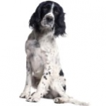 Spaniel - Online dog training courses