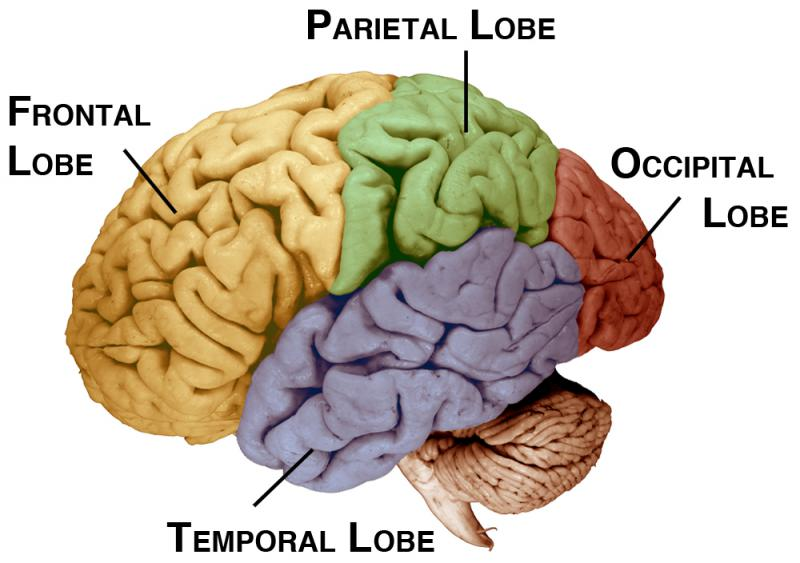 an overview of the mechanism in human memory in adults Overview of the multisystem model of memory go to activity 11 pervasive role of memory in everyday life until recently, memory has been compared to a.