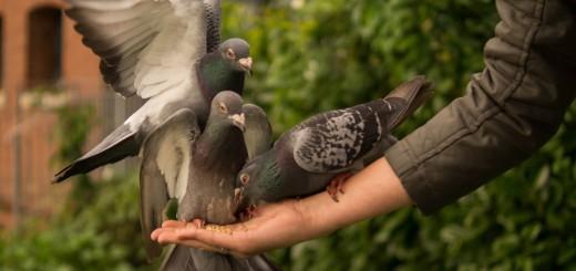 pigeon-943273